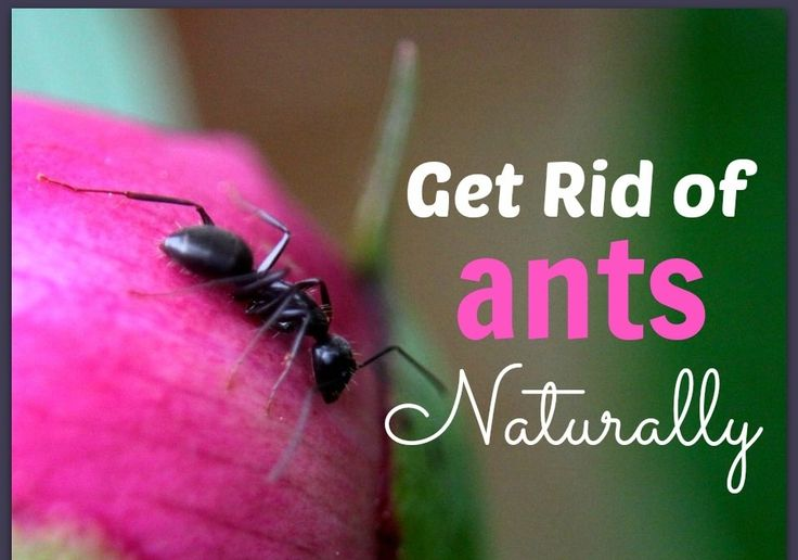 how to get rid of sugar ants home remedy