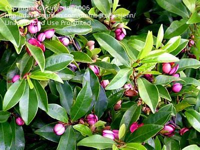 Port Wine Magnolia 'Magnolia figo' will make the sweetest smelling hedge