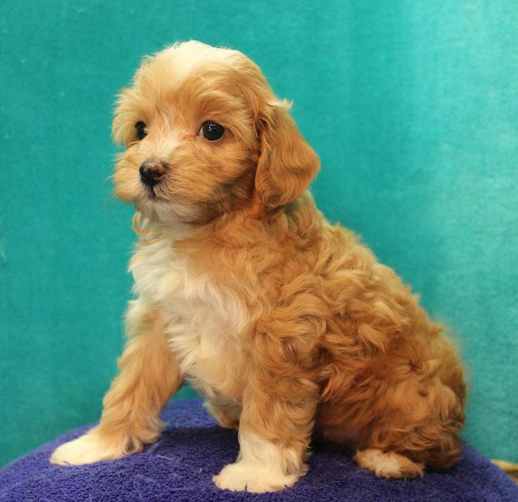 Cavapoo Puppies For Sale Montana USA