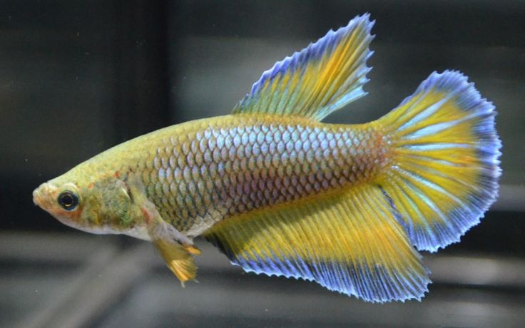 live betta fish-Beautiful Mustard gas metallic green ...