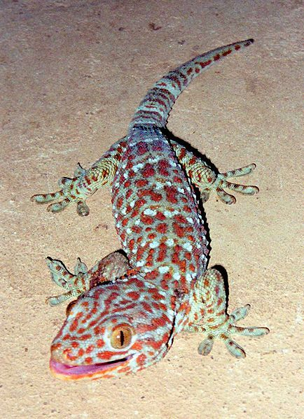 This nocturnal arboreal gecko called gekko gecko range from northeast India and Bangladesh, throughout Southeast Asia, to Indonesia and western New Guinea. Its native habitat is rainforest trees and cliffs, and it also frequently adapts to rural human habitations. This colorful reptile was introduced into Hawaii, Florida, Texas and Belize. Read more: http://www.bukisa.com/articles/42636_worlds-most-attractive-and-most-colorful-reptiles