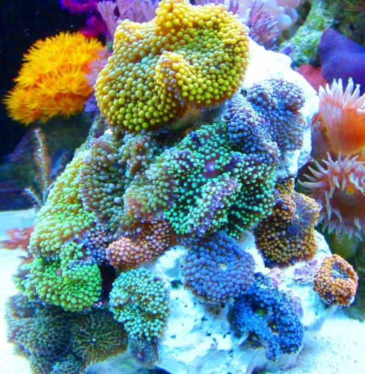 Ricordea coral colony, hardy and great for beginners. Totally want this!