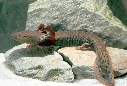 Meet the mudpuppies: Shedd Aquarium studying amphibian in Wolf ...