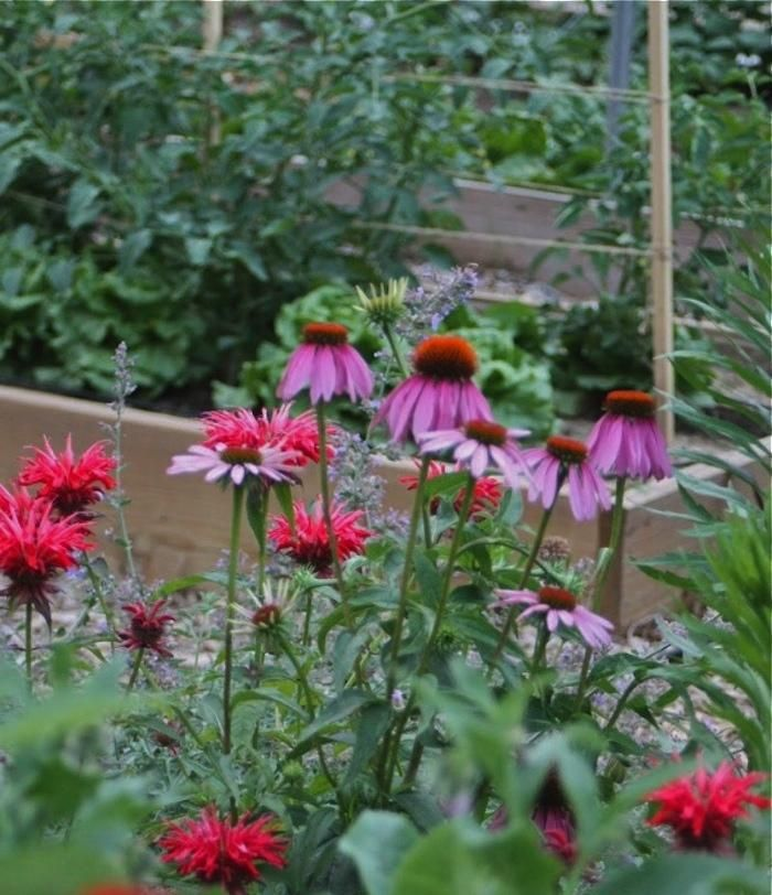 Echinacea Many Varieties Flowers Late Summer Autumn