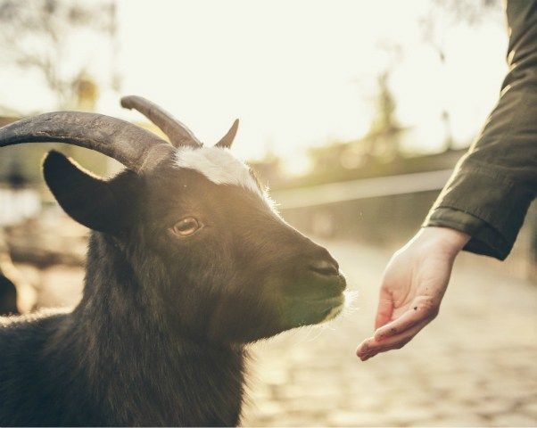 Goat Yoga: The New Trend For The Health Conscious in 2017