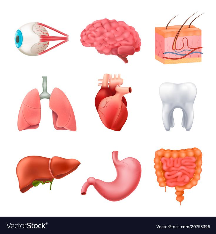 Human organs anatomy realistic set vector image on   Human ...