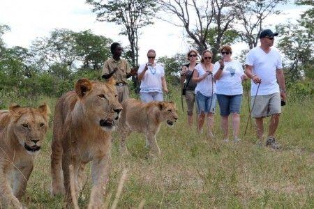 Doing the lion encounter activity near Livingstone in Zambia