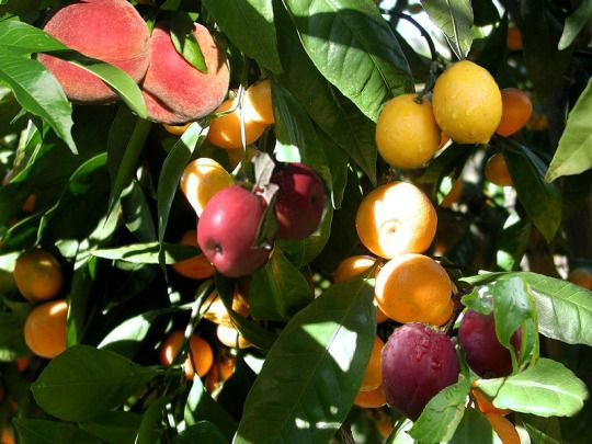 Cool Thing of the Day:  Fruit salad trees, developed by an Australian family in the early 1990s, are capable of bearing many different types of fruit on them at the same time - including apples, oranges, mandarins, lemons, limes, grapefruit, peaches, nectarines, plums, and apricots.