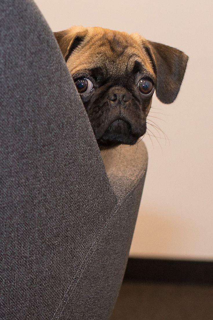 A Funny Pug Face Funny Cute Pug Dog Cuteanimals