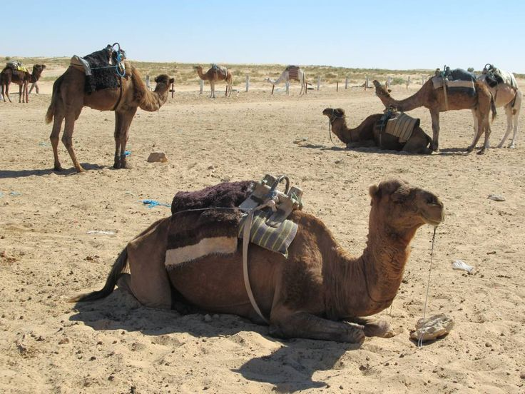 These camels await tourist riders near Douz at the edge of the Sahara in southern Tunisia.