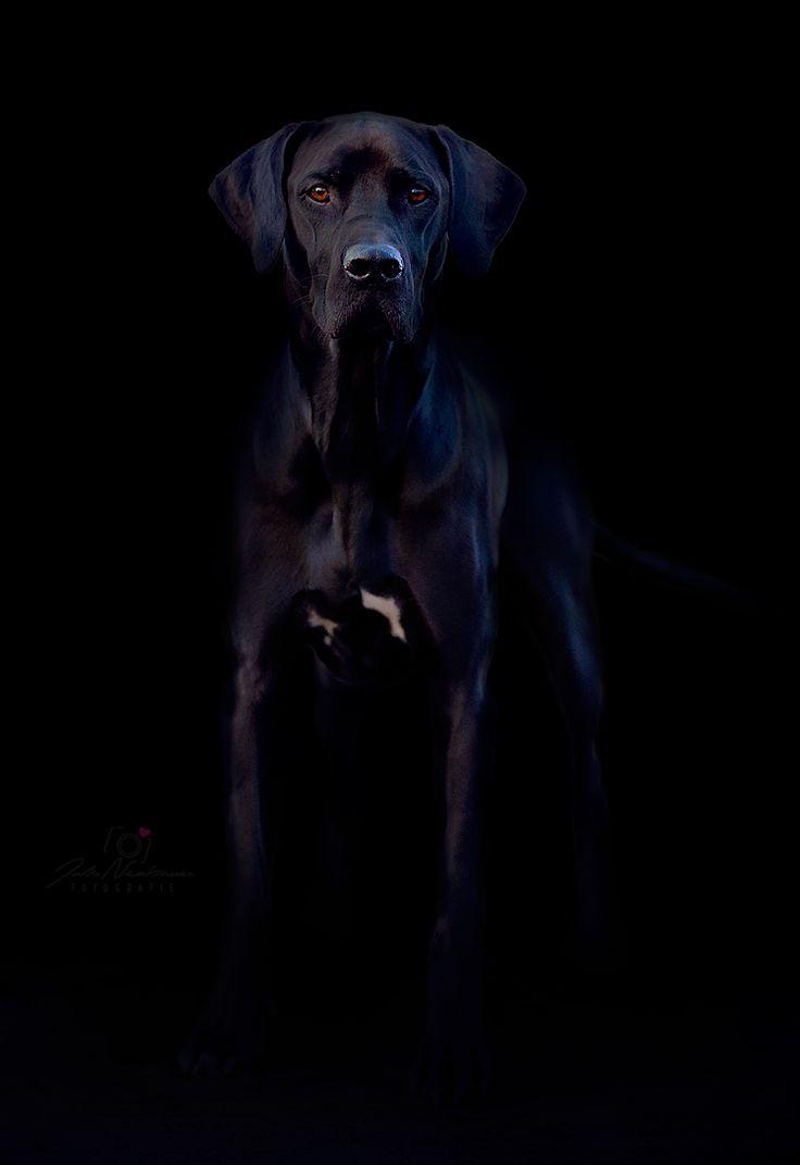 Pan Ein Rido Rhodesian Ridgeback Deutsche Dooge Mix Hunde