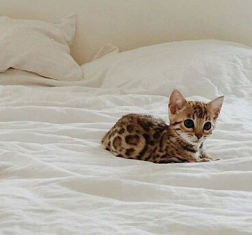 cat in the see of the bed