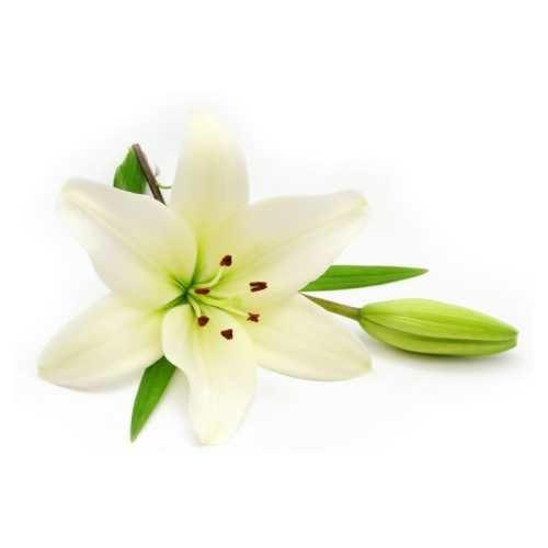 фотография Цветов лилии