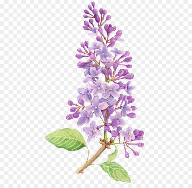 Lilac Flower Drawing Tattoo Watercolor Painting Purple Flowers 658 877 Is About Plant Flower Lilac Purple Petal Lavender Branch Violet Flora Toda In 2020 Flower Drawing Design Flower Drawing Watercolor Flowers