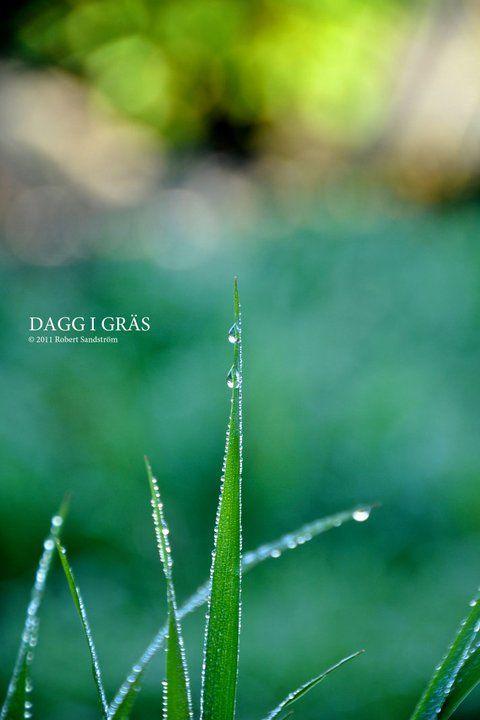 Dagg i gräs