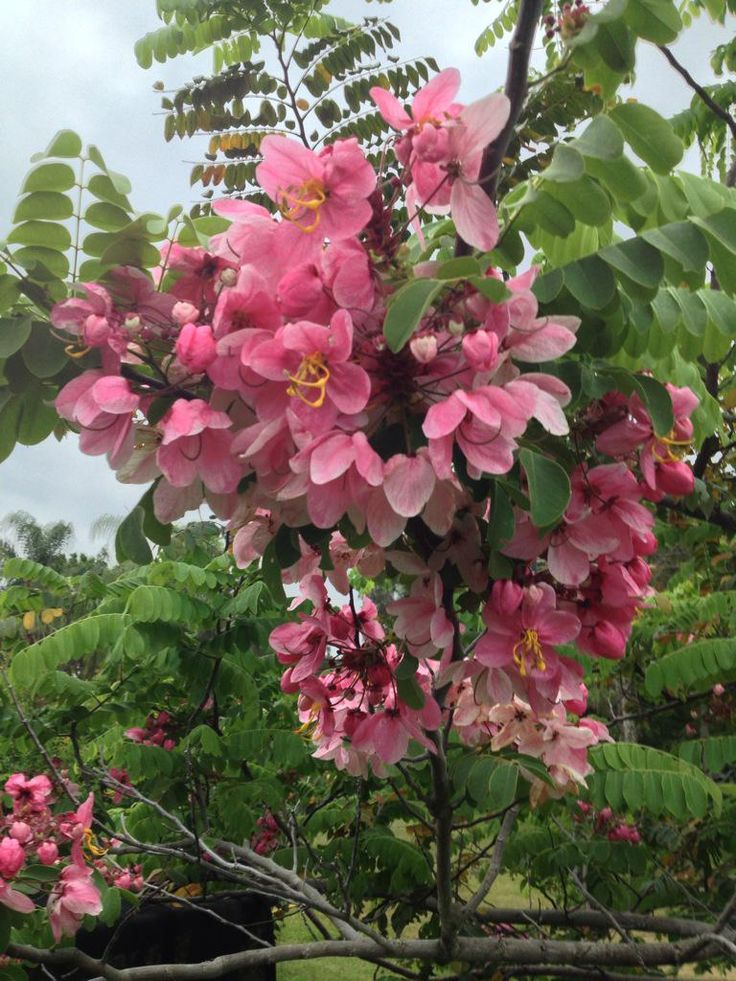 Muồng hoa đào tên khoa học Cassia javanica L, chi Cassia, Tông Cassieae, Phân họ Vang Caesalpinioideae, Họ Fabaceae Đậu, Bộ Fabales Đậu.