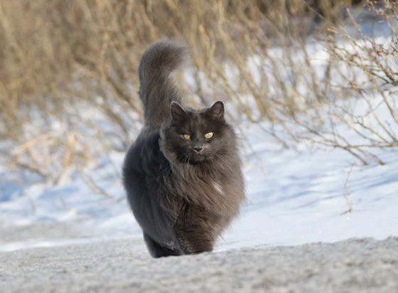 fluffy light gray cat - photo #39