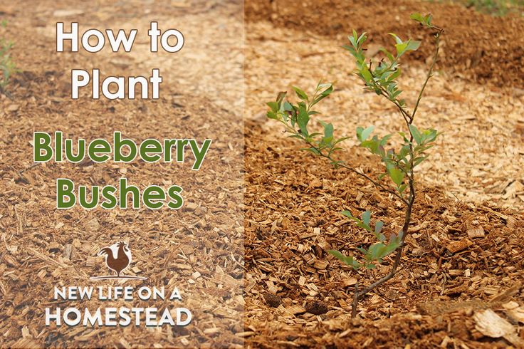 We LOVE blueberries! Here's a step-by-step tutorial on planting blueberry bushes. Learn how to plant blueberries the right way to start them off right!