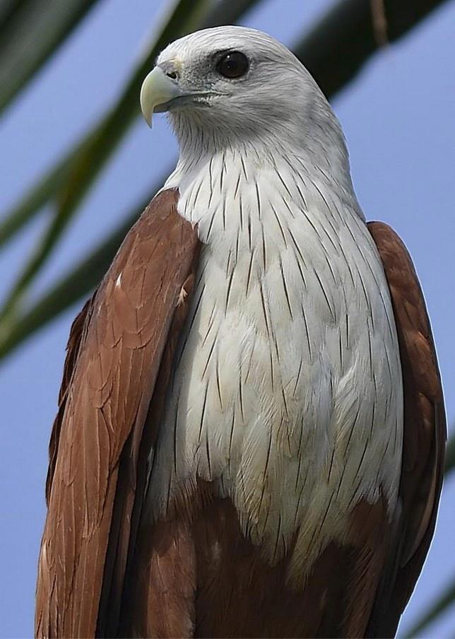 Brahminy Kite (Haliastur indus) Bird kite, Pet birds