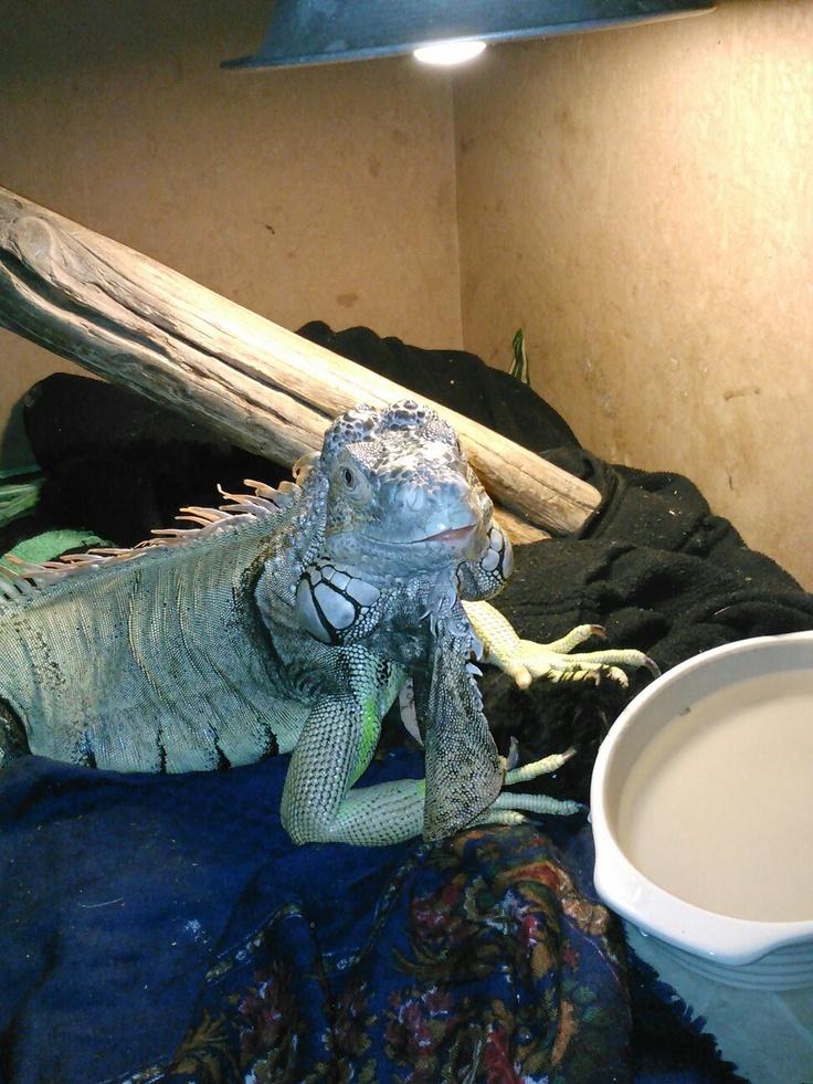 74 Best Iguanas Images On Pinterest
