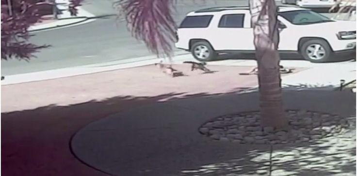 Un chat sauve un enfant attaqué par un chien (Capture d'écran)