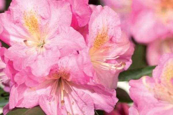 Rhododendron 'Scintillation'  Le rhododendron 'Scintillation' est un rhododendron au développement compact, à feuillage persistant et à belles fleurs rose clair. Son feuillage vert foncé se marie bien avec la couleur claire de ses fleurs. Cette espèce fleurit d'avril à mai.