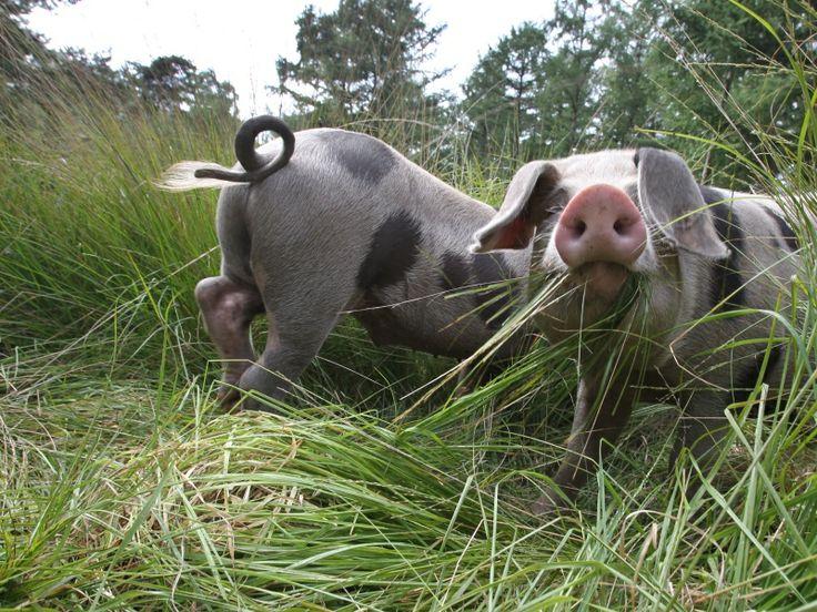 http://www.ed.nl/extra/natuur/varkens-wroeten-eenzijdige-bosgrond-heeze-los-video-1.3959197