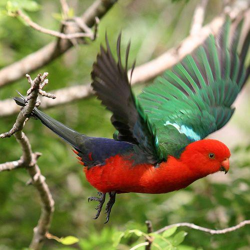 Male King Parrot in flight