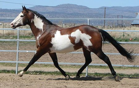 Color Me Custom - APHA Bay Frame Overo Stallion | Horses ...