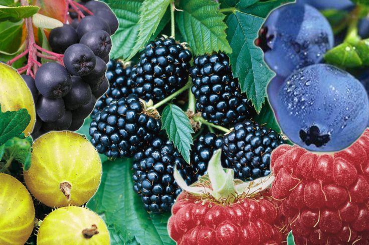 Beerensträucher pflanzen und pflegen im heimischen Garten | Gartenträume