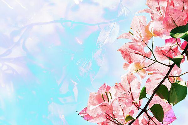 Pink Bougainvillea Flowers  Photograph by Nadezhda Tikhaia  #NadezhdaTikhaiaFineArtPhotography #ArtForHome #HomeDecor #Flowers #InteriorDesign #FineArtPrints