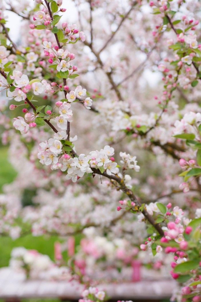 Crabapple trees, especially when the petals are drifting down, are one of my favorite things of Spring.