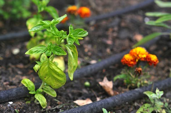 mint repels ants, moths, and aphids ... garlic repels Japanese beetles, fleas, aphids ... basil repels flies and mosquitoes | projects | Pinterest | Garden, Pl…