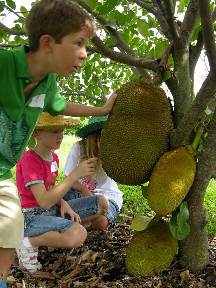 Providing Tree And Plant Care: Planting And Care Of Jackfruit In Florida
