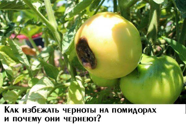 Как избежать черноты на помидорах и почему они чернеют?  Когда чернеет носик помидоров, то это вершинная гниль. Возникает вершинная гниль плодов в результате неравномерных поливов, резких перепад температур, а также при недостатке кальция.  Чаще всего болезнь проявляется на нижних кистях, а само поражение начинается с появления небольших по размеру темных пятен на носике плода. Потом это пятно разрастается, становится более темным и вдавливается. Пораженный помидор становится твердым и…