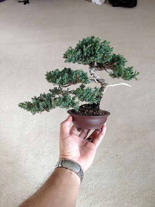 Juniper bonsai tree by Ken To by KenToArt on deviantART
