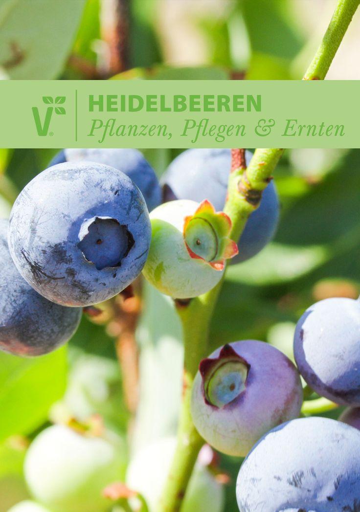 Heidelbeeren Im Kübel Pflanzen : heidelbeeren sind ausgesprochen pflegeleicht und lassen sich auch im k bel auf dem balkon ~ Watch28wear.com Haus und Dekorationen
