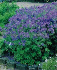 Bodziszek himalajski 'Johnson's Blue'  Geranium himalayense półcień