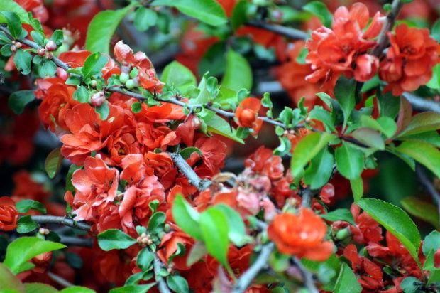 Pigwowiec. To krzew zarówno ozdobny jak i użytkowy. Część ozdobną stanowią różnokolorowe kwiaty kwitnące w kwietniu i maju. Dojrzewające jesienią owoce świetnie nadają się na domową nalewkę, a ich sok doda herbacie niezwykłego aromatu.