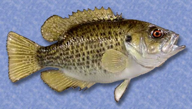 91 best images about fishing on pinterest bow fishing for Rock bass fish