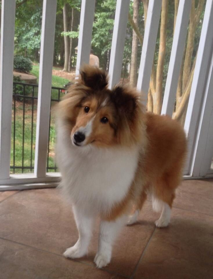 Cute Sheltie pup