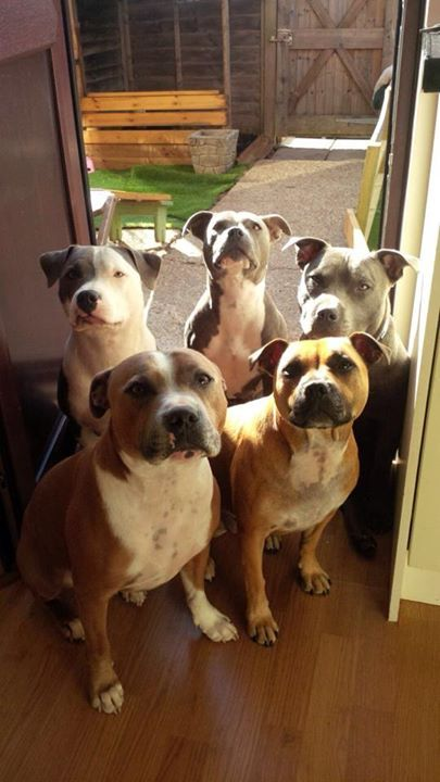Staffie Staffordshire Bull Terrier Pet Insurance