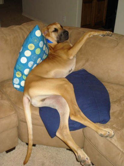 """""""Oh yeah.. now i'm comfortable"""" #Great #Dane. Looks familiar...oops we don't have a fawn!"""
