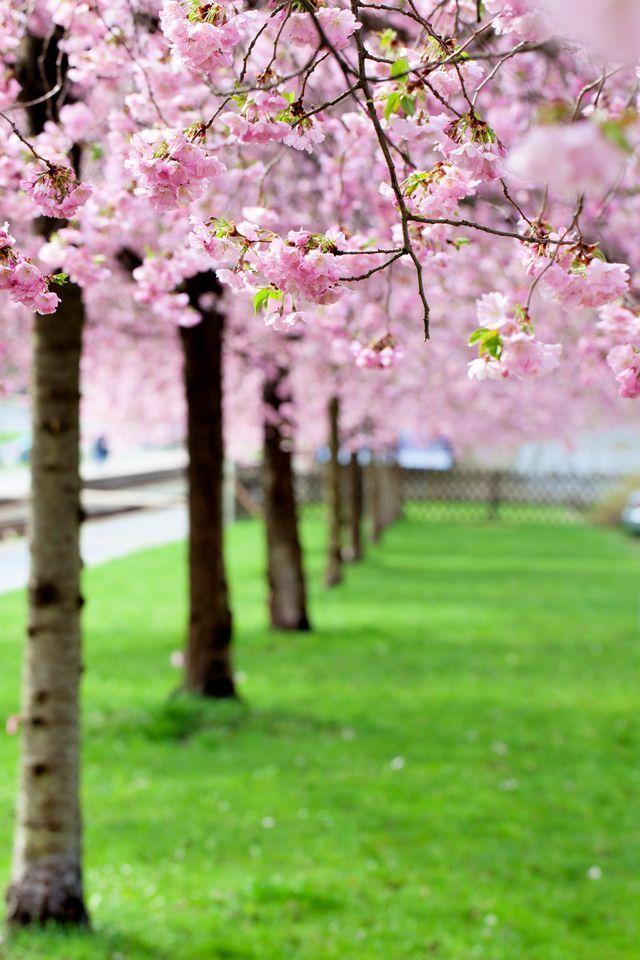 Pin By Zelda De Jager On Spring Blossoms Florist Cherry Blossom Tree Peonies Garden