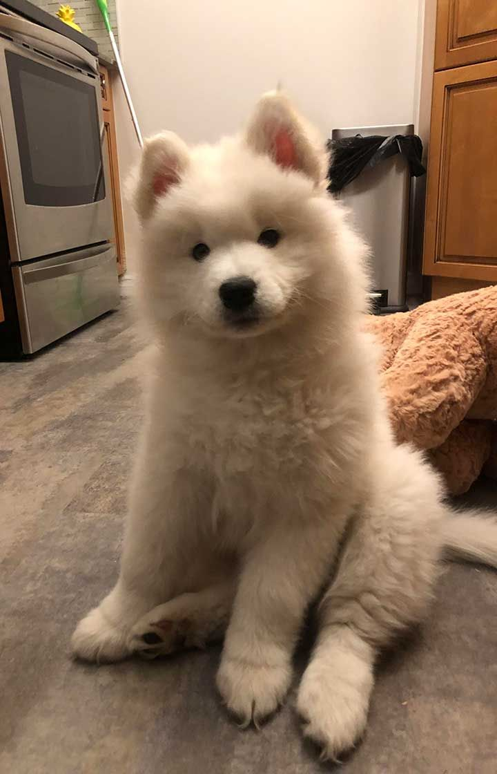 My Friend S Dog Samoyed Very Hard To Take A Photo When They Are
