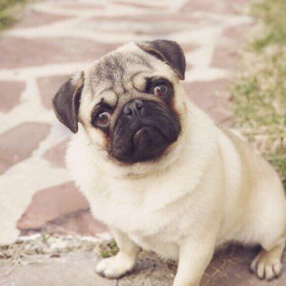 Hola nenas! 😏😎🐾🐾 #pug #pugs #pugoftheday #puglife #puglovers #puglove #pugnation #pugmania #pugstagram #pugworld #pugpuppy #pugsnotdrugs #pugs