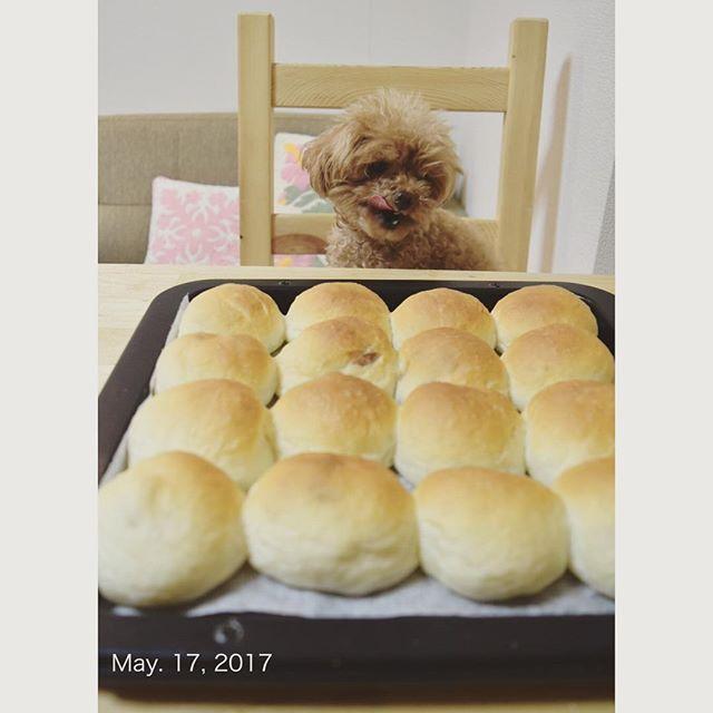 ぽむとぱん🐶🍞 #ぽむ #toypoodle #ぱん #パン #パン作り #サツマイモこしあんパン#美味しい #夜中に焼きたてぱん#いっぱい食べたくなるけど我慢#パン好き #今回もうまくいった#楽しい#またしても夜中のパン作り#明日も仕事  #トイプードル #トイプードル部#instadogs #poodle_feature #フワモコ部 #愛犬#🐶