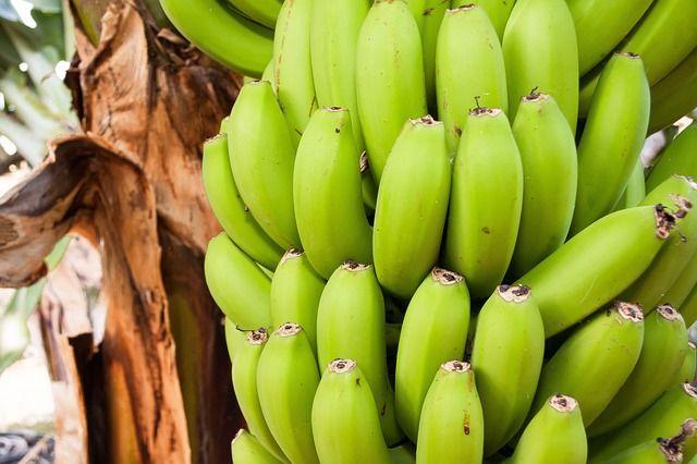 """La biomasse de bananes vertes est largement plébiscitée par les nutritionnistes et diététiciens brésiliens. Cette préparation """"biomasse"""" simple à réaliser est considérée comme un aliment fonctionnel grâce à son action similaire aux fibres alimentaires. Sans gluten, elle est indiquée pour perdre du poids (satiété), en cas de diabète, de cholestérol et lors de problèmes de transits intestinaux.  La biomasse de bananes vertes est à l'heure actuelle utilisée par l'industrie agroalimentaire…"""
