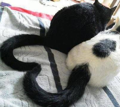Love cats make a heart with their tails