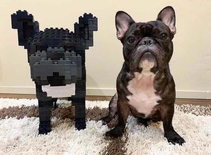 Boo Thefrenchie Looking Fabulous With His Jekca Buddy Doguk